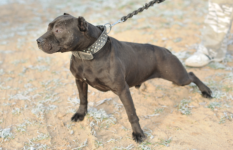 pictures of pitbulls on steroids